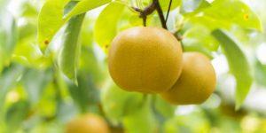 和梨と洋梨、どう違うの?-主な品種も紹介-