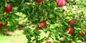 赤りんご・青りんご定番の品種は?-そもそも何故色が違う?-