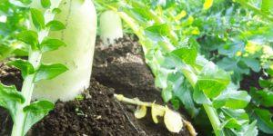 大根は春の七草!主な品種を紹介!-生食用や薬味用も-