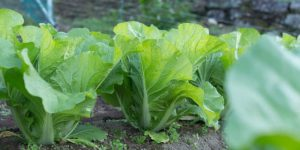 白菜は、生でも食べられる?!葉が紫やオレンジ?-変わり種品種-