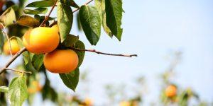 甘柿と渋柿、どう違うの?品種は?-種の有無が関係する-