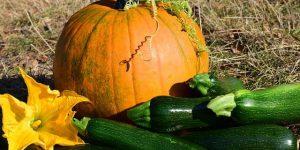意外?!かぼちゃとズッキーニの関係に迫る!-共通点はあるの?-